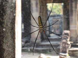 Huge Angkor spider, much larger than he appears here