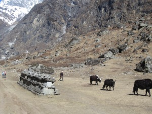 Hiking past a mani wall and yak/cow hybrids, Langtang Valley