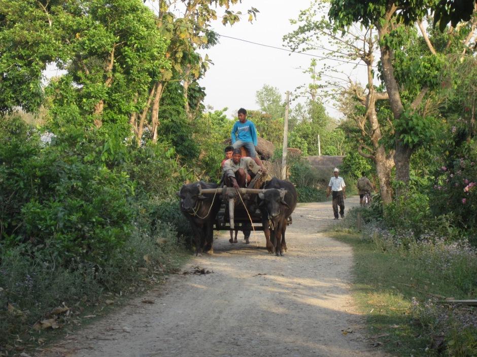 Water buffalo, ox cart and heavy load, village of Betahani