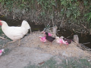 Holi chickens, Betahani