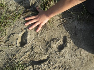 Rhino print (one three-toed footprint), Bardia National Park