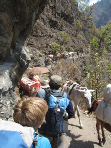 Competing with donkey trains on narrow paths, Manaslu Circuit