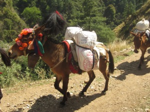 Decorated donkey with full load, Tsum Valley