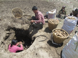 Digging potatoes out of their winter storage pit, Samagaon