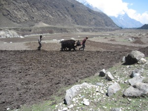 Yak team plowing fields for the next potato crop, Samagaon